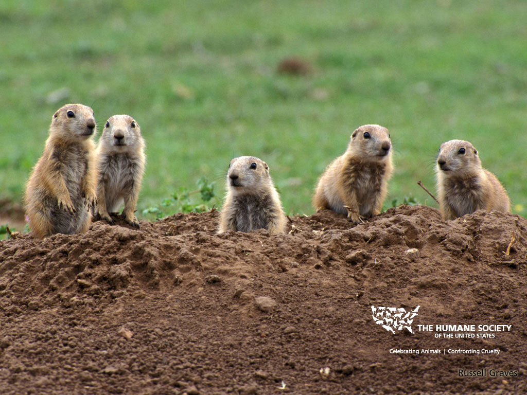 BMW Park Avenue >> Free Cool Wallpapers: prairie dog pictures