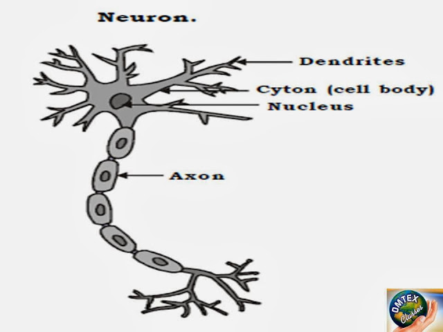 Omtex Classes Draw A Well Labelled Diagram Of A Neuron
