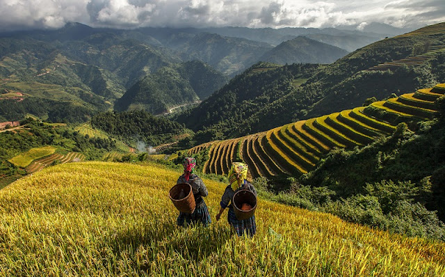 Strange colors of terraced fields in the northern mountains of vietnam 1