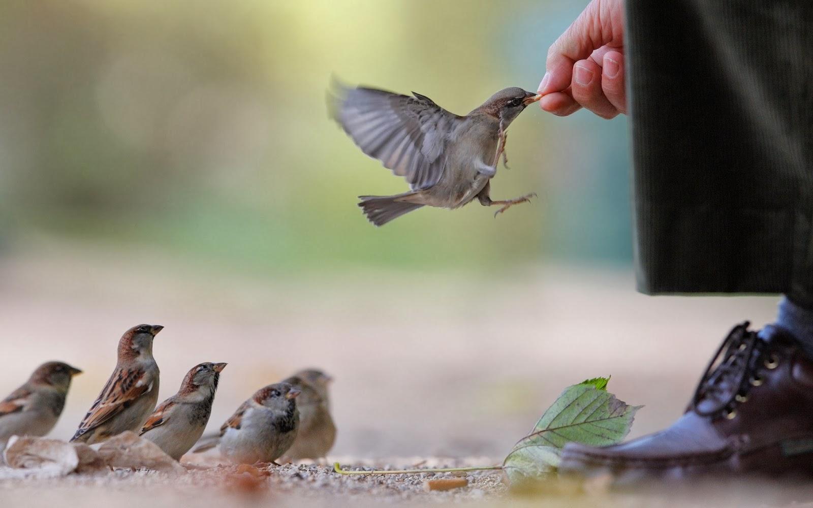 burung-burung pipit-tangan-makanan-manusia-wallpaper-2560x1600