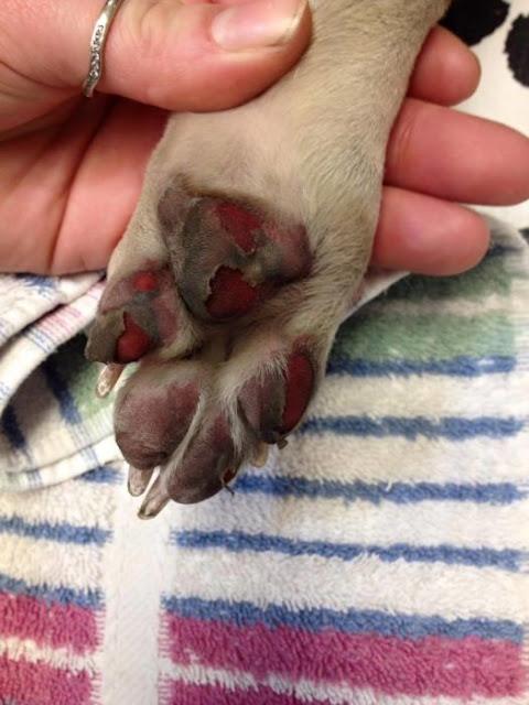 Alerta; tu perro puede sufrir quemaduras a causa del calor