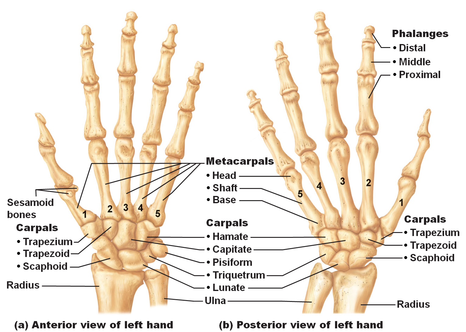 Medical Freak The Skeleton Of The Upper Limb