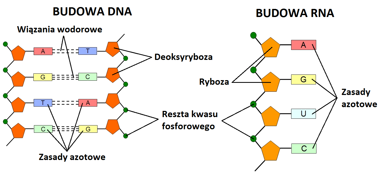 Nauka Mlodego Kwasy Nukleinowe Budowa I Polozenie