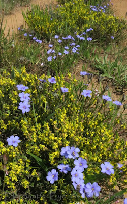 Middelmannetjie in November with blue Aristea and yellow Aspalathus