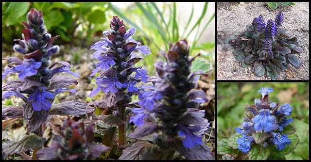 Health Benefits And Medicinal Uses Of Bugleweed