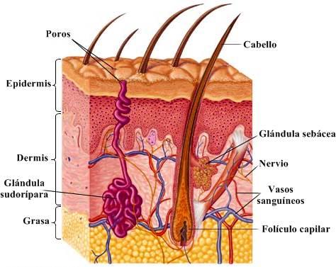 Piel humana: anatomía, características generales, funciones y más
