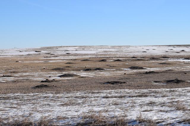 Badlands National Park, South Dakota, prairie dogs