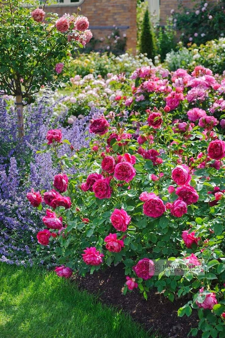 Backyard rose garden - Judy S Cottage Garden