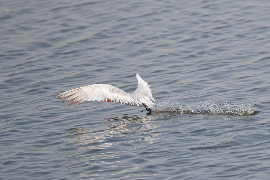 Caspian Tern1
