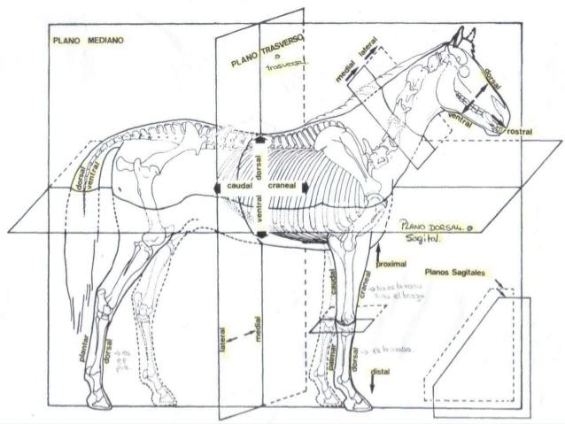 Planos Topogr Ficos Anatom A Veterinaria