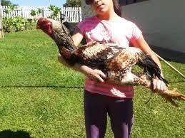 jenis ayam shamo