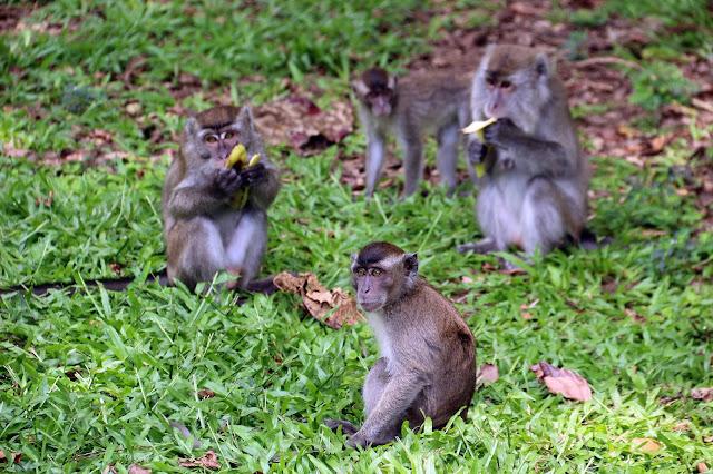 Bandit Bako National Park, monyet Macaque