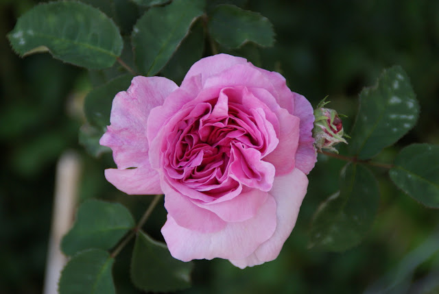 grab rosa frühling