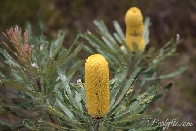 Banksia flower spikes