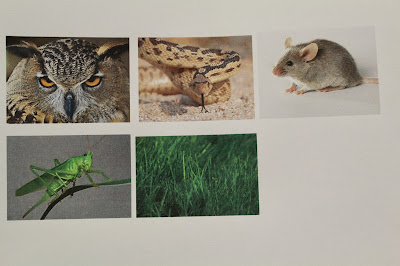 Grass Grasshopper Mouse Owl Food Chain