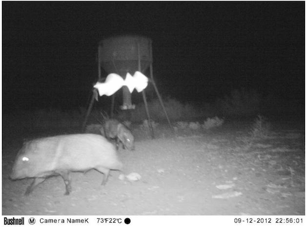 UFO Probe Seen Flying Over Wild Pigs In Texas On Animal Cam Screen%2BShot%2B2018-10-23%2Bat%2B4.50.27%2BPM