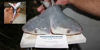 Anehnya hiu berkepala dua, 'mutan' laut yang misterius updetails.com