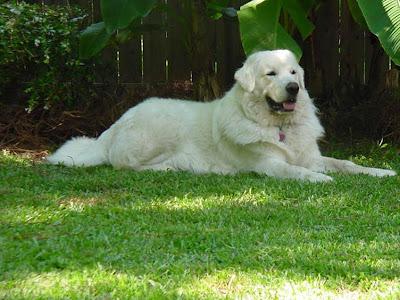 Αποτέλεσμα εικόνας για λευκό ελληνικο τσοπανόσκυλο
