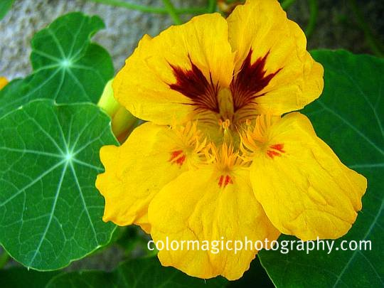 Orange nasturtium flower picture