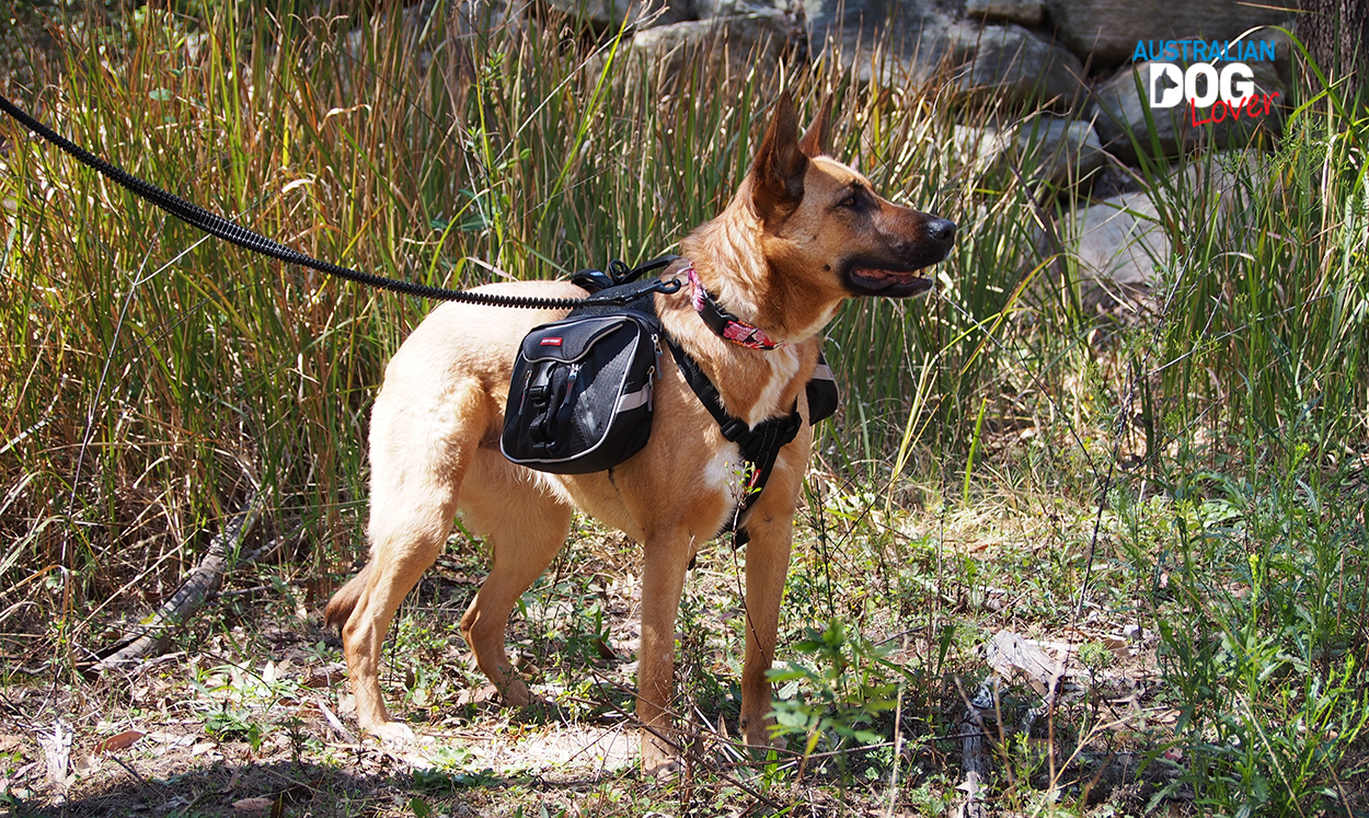 EzyDog Summit Dog Backpack worn by Malinois Aramis on a bushwalk