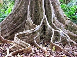 Jenis-jenis akar yaitu Akar banir