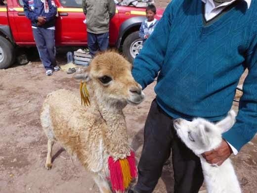 Links ein Bicuna, das enorm scheu ist und rechts ein Lama