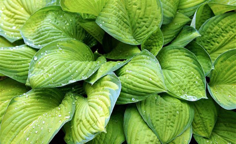 how to grow hostas, growing hostas, do hostas spread, types of hostas, where to plant hostas, how to plant hostas, how to care for hostas,