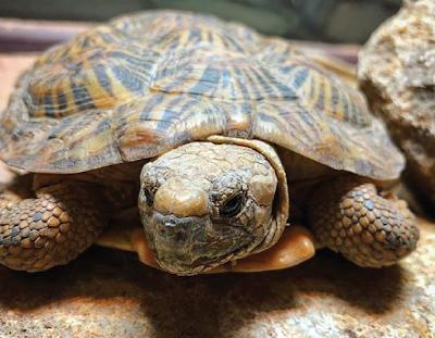 Kura-kura Pancake Si Kura-kura Dengan Punggung Gepeng