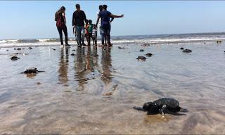 Mumbai beach, olive ridley sea turtles, sea turtles, beach clean-up
