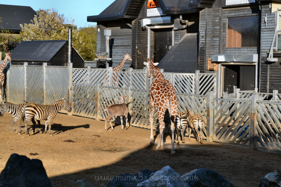Colchester zoo. Giraffes and zebras