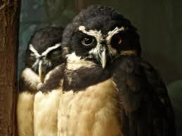 SPECTACLED OWL | XAMOBOX.BLOGSPOT.COM, RELAX
