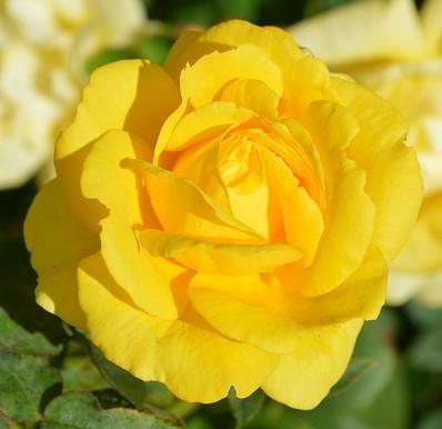 Ruže Majevice - Rasadnik ruža, Peljave.Sadnice ruža, stablašice, ruže u saksi...