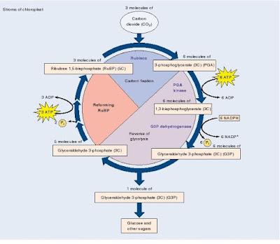 fotosintesis, reaksi gelap,siklus calvin