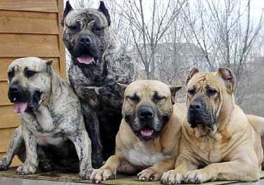 Morsorosso Cani Da Guardiale Migliore Razze Canine Da Guardia