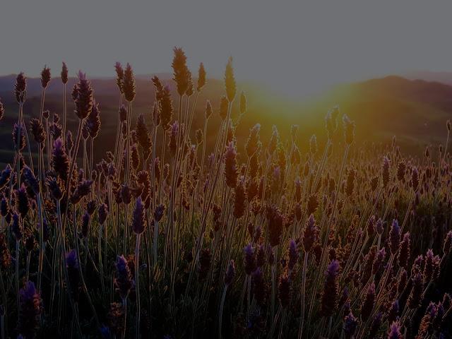 Pôr do Sol no Lavandário de Cunha