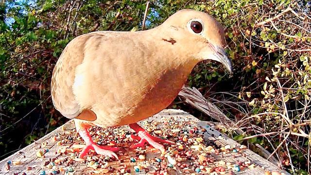 Mourning Dove Extreme Close Up