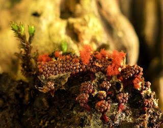 Metatrichia vesparium - Métatrichie en nid