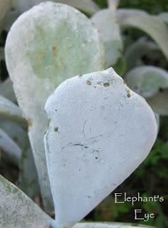 Cotyledon orbiculata 'mielie leaf'