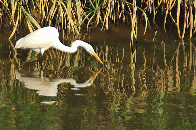 bird, egret, reflection,river,reeds