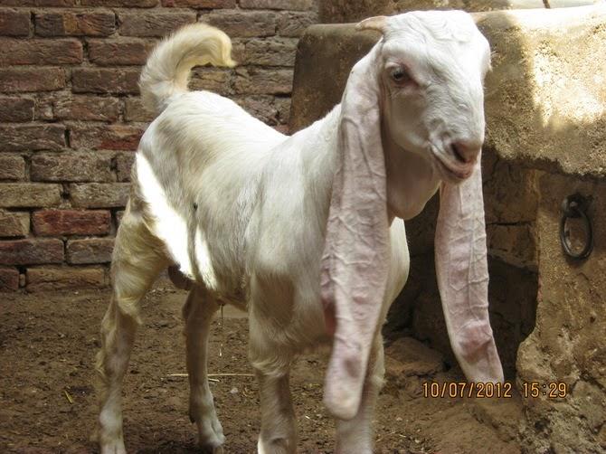 Kamori Goat Color - 0425