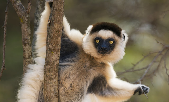 Lemur family tree shake-up: Extinct, living lemurs in one evolutionary tree