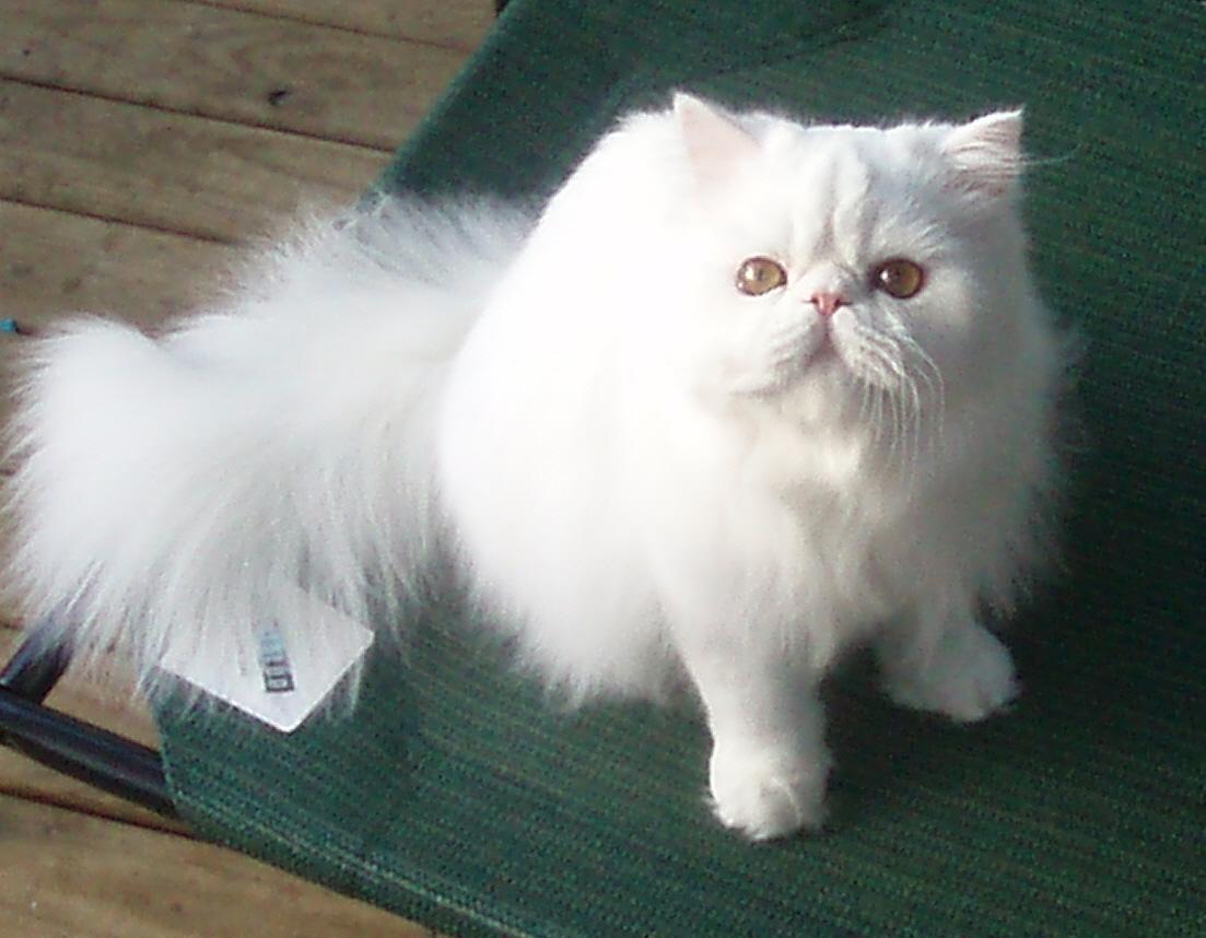 Adult Persian Cat 105