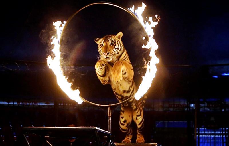 Tigre atravessa um anel de fogo num circo