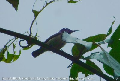 Birding tour in Ridge Forest of Sorong city - the gate to Raja Ampat