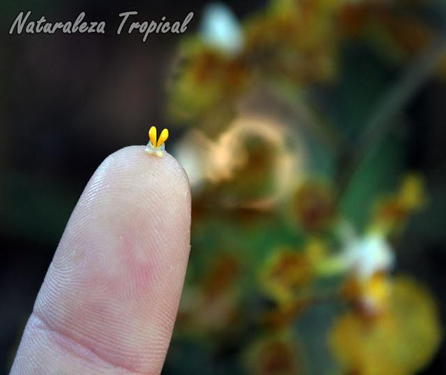 Polinias de la orquídea Trichocentrum undulatum adheridas a la yema de un dedo