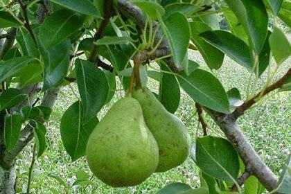 Budidaya Tanaman Avokad (Persea gratissima)