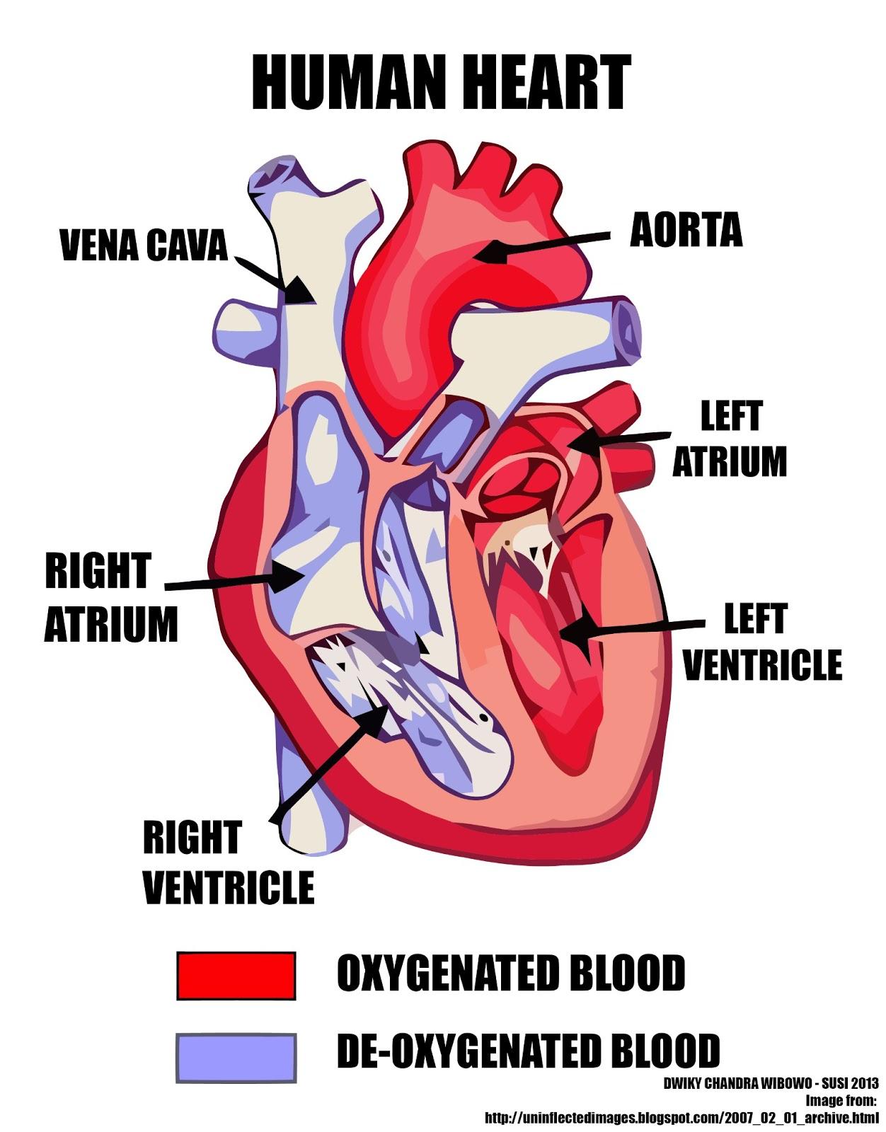 Heart Diagram Quiz Iron Carbon Equilibrium Pdf Label Worksheet Free Engine Image