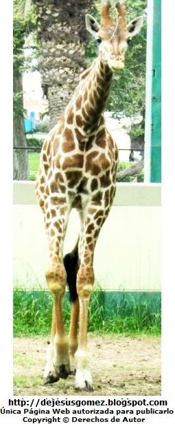 Foto de una jirafa mirándo a la cámara de Jesus Gómez