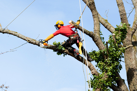 Tree trimming cutting and pruning by arborist
