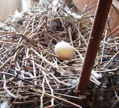 an egg in a nest, pigeon egg, pigeon's nest